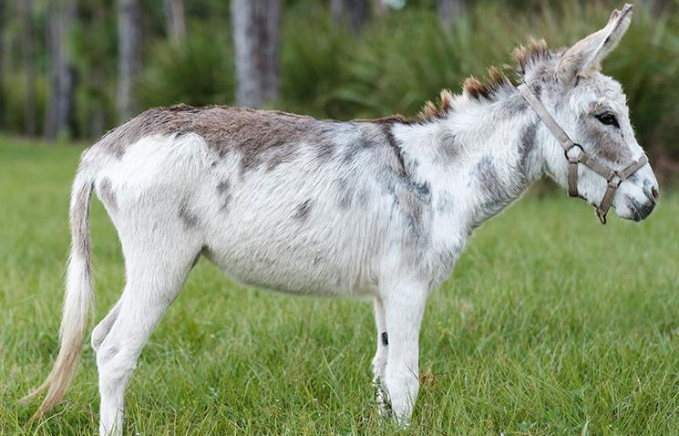 Miniature Donkeys - Weisberg Stables | Jupiter, FL