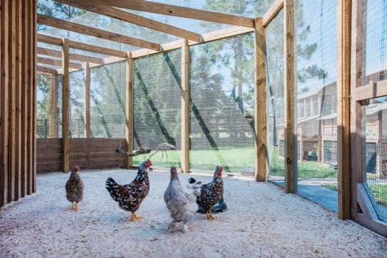 Chickens - Weisberg Stables   Jupiter, FL