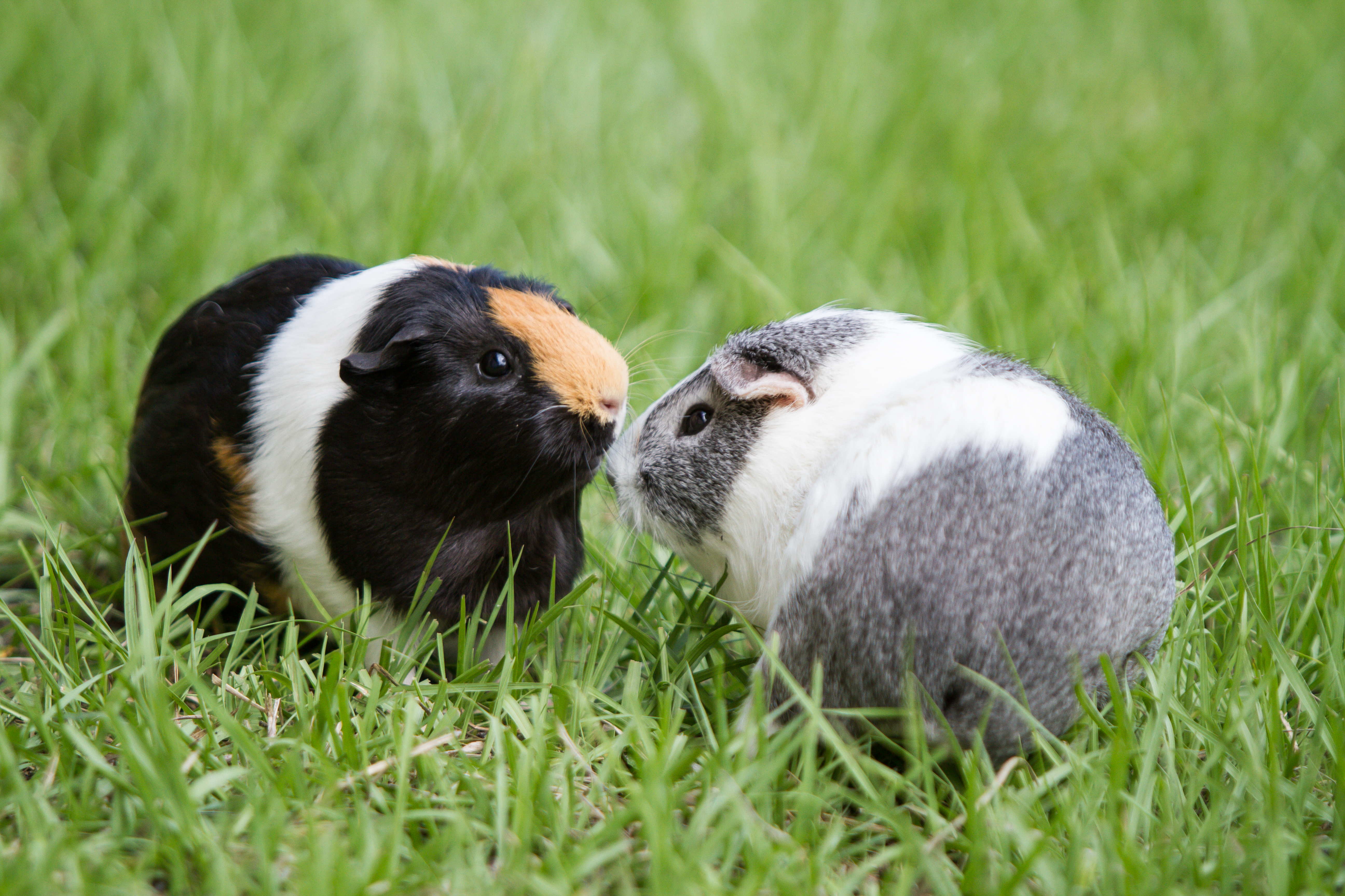 weisberg stables guinea pigs